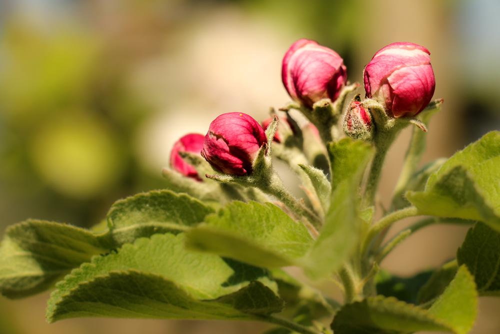 kurz vor der Apfelblüte